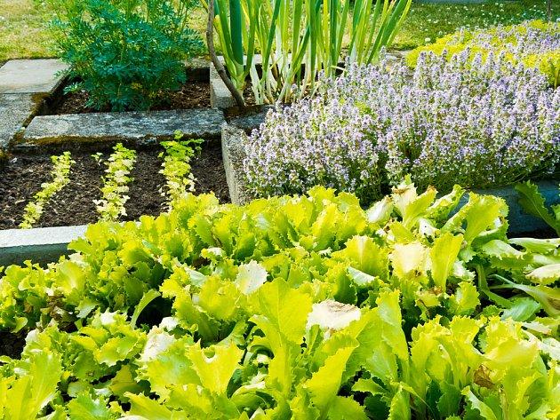 Tymián se vyplatí pěstovat v blízskoti salátu
