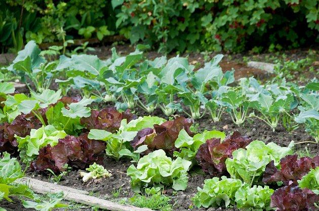Salátům i kedlubnám teplé jaro svědčí, pokud je za sucha zalijete
