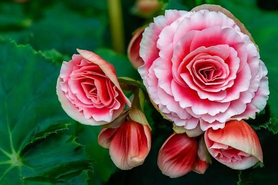 Begonie zdobí zahradu květy výjimečné krásy