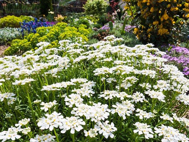 štěničníky, iberky, jsou odolné půdopokryvné rostliny