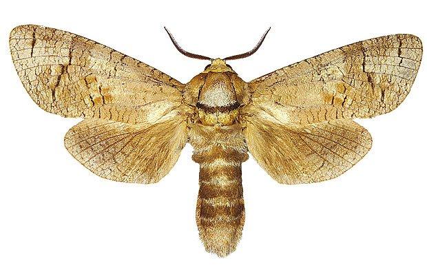 Drvopleň obecný (Cossus cossus)