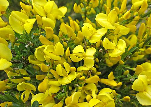 v naší přírodě žlutě kvete janovec metlatý