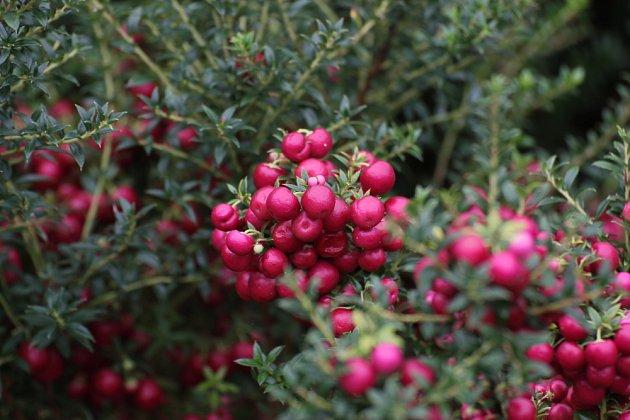 Libavka hrotitá (Gaultheria mucronata) má zajímavé růžově zbarvené plody
