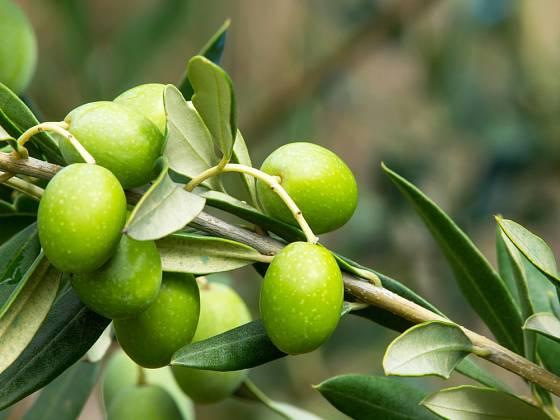 Větvička olivovníku s olivami.