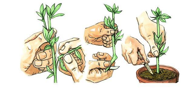 množení rostlin řízkováním - názorný postup