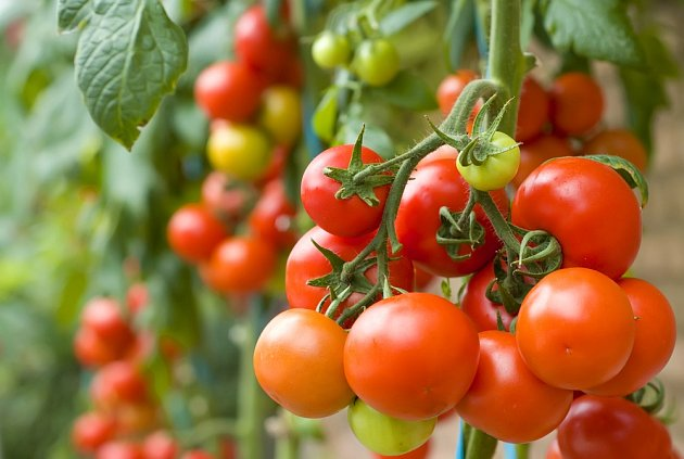 I v našich podmínkách se můžeme těšit z bohaté úrody rajčat.