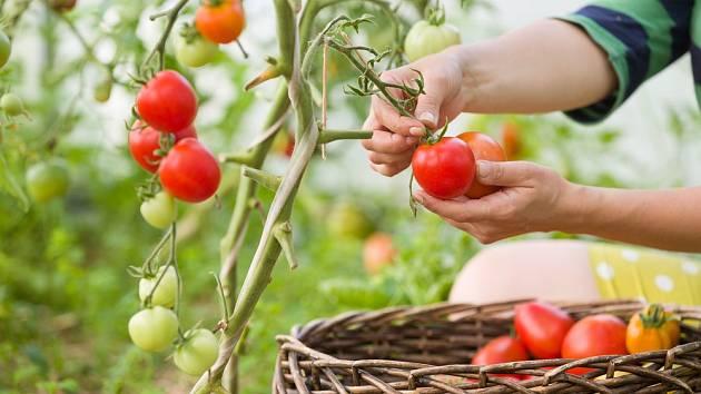 Rajčata můžeme sklízet průběžně.