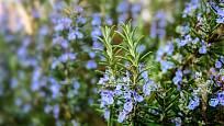 kvetoucí rozmarýn lékařský (Rosmarinus officinalis)
