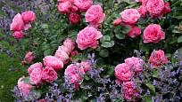 Fialově kvetoucí šanta je ladným doplňkem růžových růží