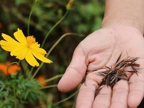 Semena květin