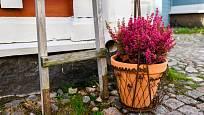 Kvetoucí vřesovec umístěný v květináči nadělá spoustu parády.
