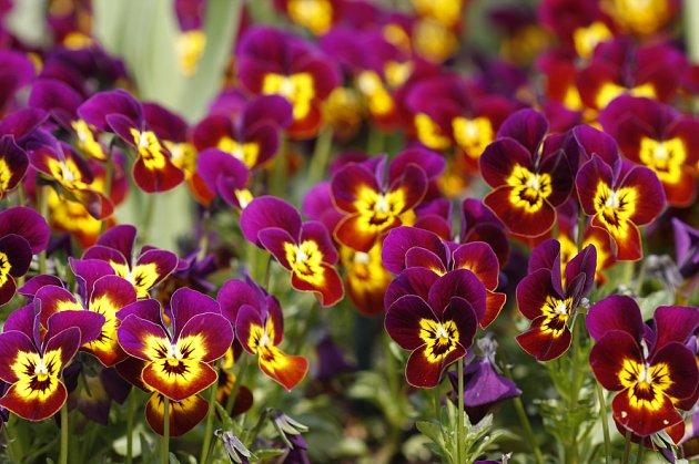 Maceška zahradní je vyšlechtěna do nespočtu barevných variet