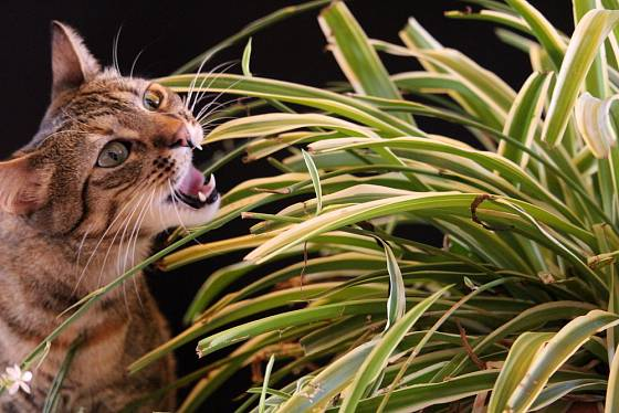 Zelenec je rostlina bezpečná pro psy i kočky.