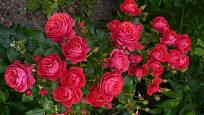 Mnohokvětá růže Cherry Girl