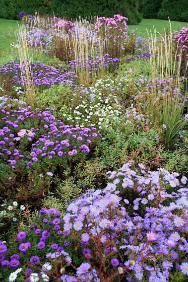 Hvězdnice křovitá (Aster dumosus) v trvalkové směsi Kvetoucí závoj, Dendrologická zahrada Průhonice