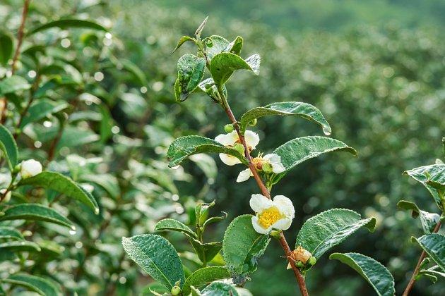 Kvetoucí čajovník čínský (Camellia sinensis).