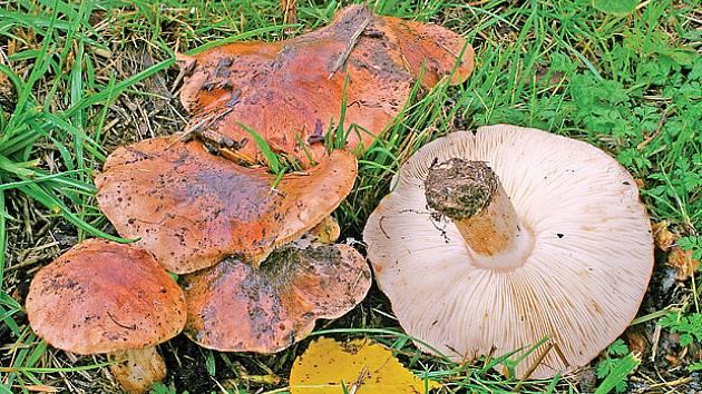 čirůvka topolová (T. populinum)