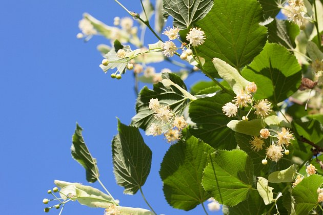 Lipový květ je přírodním pomocníkem při virózách a nachlazení