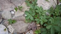 Mochna plazivá se rychle šíří nejen v záhonech, ale také v trávníku.