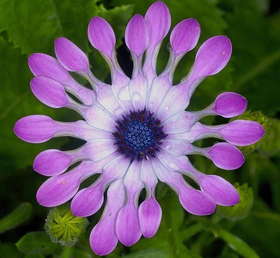 Osteospermum eclonis Margarita Violet Spoon