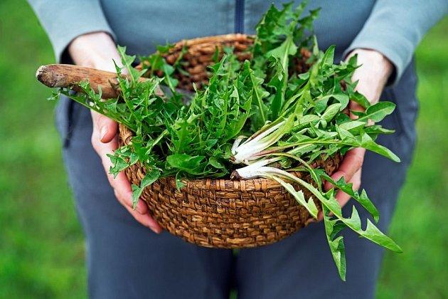 Listy i kořeny smetanky lékařské jsou léčivé