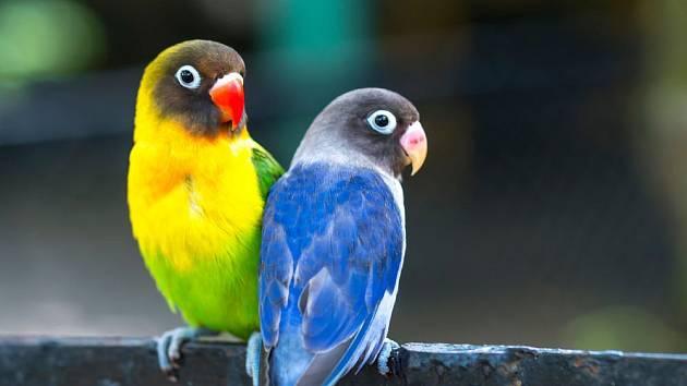 Papoušíky zvládne chovat i začátečník