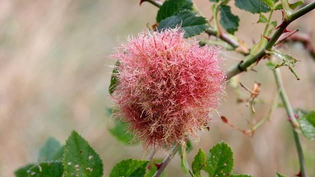 Hálka žlabatky růžové