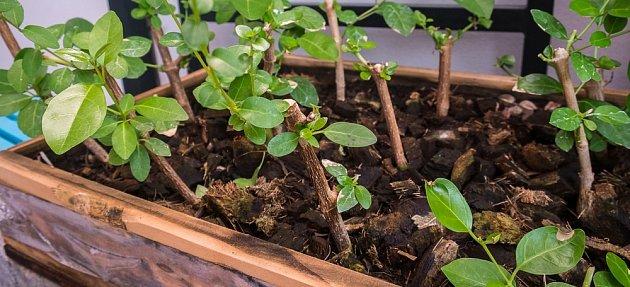 Namnožit lze i dřevnatějící stonky, ať už pokojových rostlin, nebo zahradních keřů