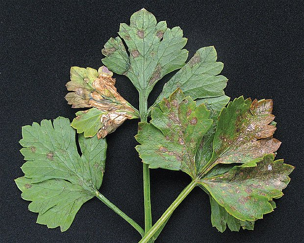 Septoriová skvrnitost celeru