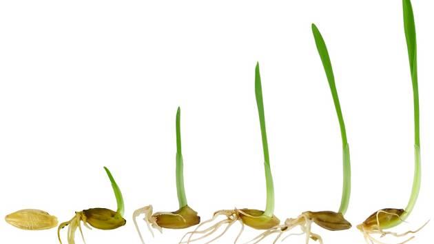 Klíčení a postupný růst trávy.
