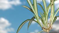 Zelenec tvoří vzdušné odnože na dlouhých výhonech - stačí je odstřihnout a zasadit