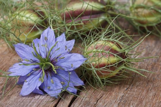 Černucha damašská je rychle rostoucí letnička s ozdobnými květy i plody, které lze využít i do suchých vazeb