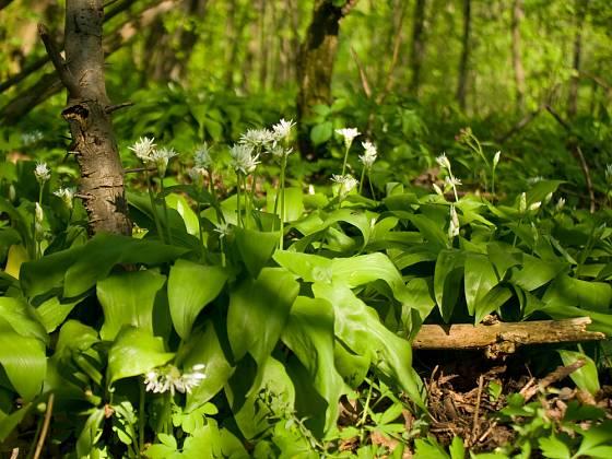 Listy medvědího česneku je vhodné sbírat dříve, než rostliny vykvetou.
