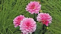 Přestože nevoní, květy jiřinek uchvátí nádherou a rozmanitostí