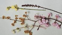 Odspoda nahoru: Lonicera x fragrantissima, Chimonanthus praecox, Viburnum x bodnantense 'Dawn', Jasminum nudiflorum, Myrica gale