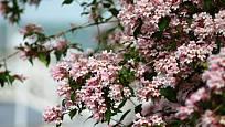 Kolkvície krásná (Kolkwitzia amabilis) patří k bohatě kvetoucím okrasným dřevinám.