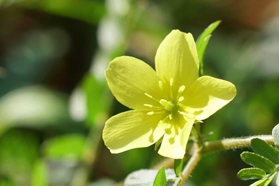 Detail květu kotvičníku zemního.