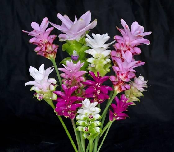 Kurkuma a její květy se skvěle hodí do svatebních kytic.