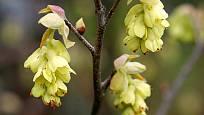 Lískovníček klasnatý (Corylopsis spicata)