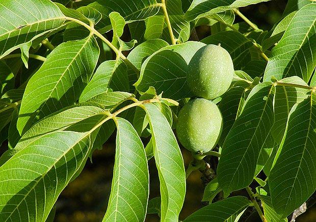 Zdravý strom se s drobným poškozením kůry obvykle bez problémů vyrovná