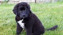 Jiní psi jsou více podobní bernským salašníkům.