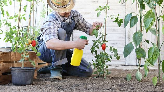 Účinný postřik z listů rajčat lze použít i na samotná rajčata