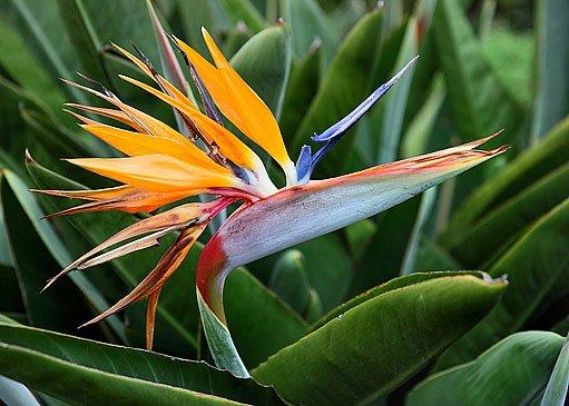 strelície má atraktivní květy i listy