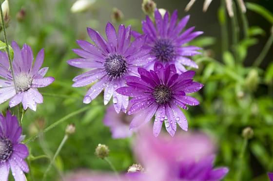 Květy těchto rostlin mohou být jednoduché i plné.