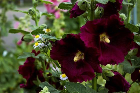 Topolovky jsou vyšlechtěny i v tmavých odstínech květů
