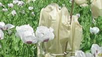 Uzavření makových květů do prodyšných sáčků