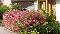 Sadové růže vytvoří nádherný živý plot