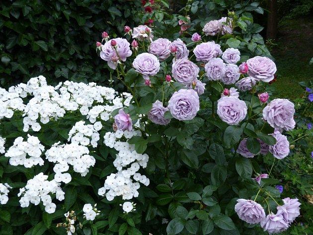 Tato kombinace chladí i v plném létě: vyšší mnohokvětá růže Novalis s jedinečnou barvou lila se výborně hodí k bílé plaménce