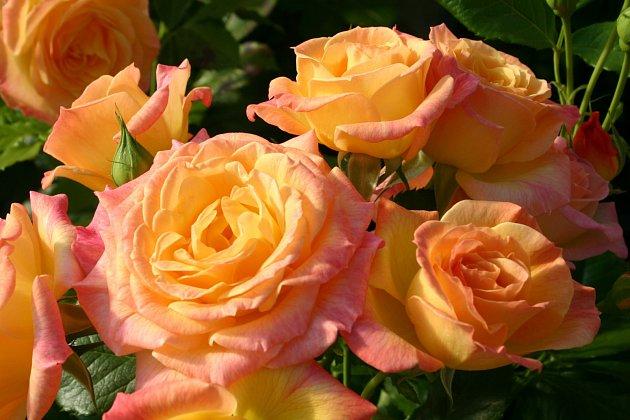 mnohokvětá růže, odrůda Gartenspaß