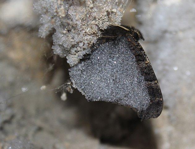 babočka paví oko přečkala na chráněném místě největší mrazy, foto Dana Hachlová